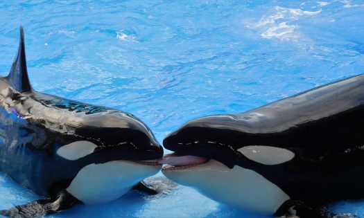 Two orcas at the edge of the pool.