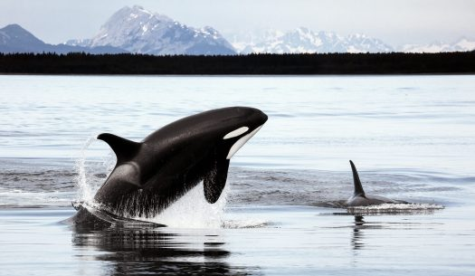 Orcas swimming near Alaska, snowy mountains in background.