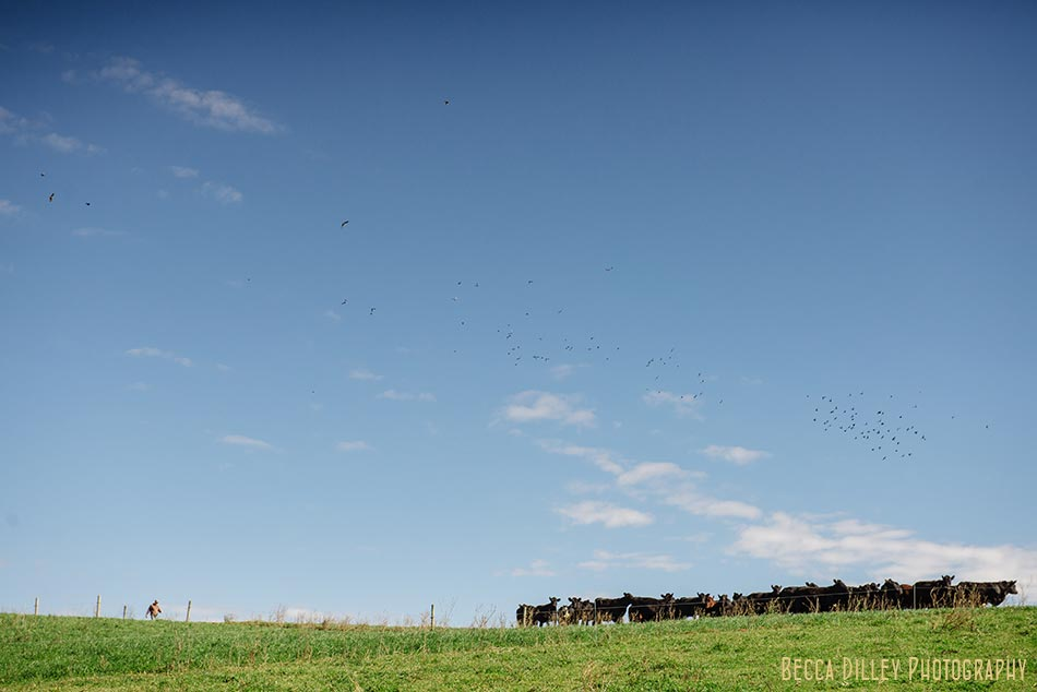 minnsota farm photographer cows in pasture at hidden springs