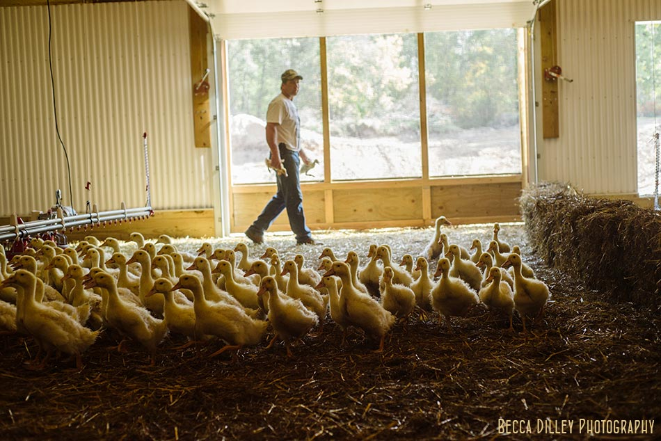 minnsota farm photographer ducks in barn