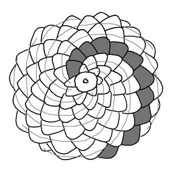 pine-cone-fibonacci-right
