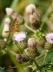 Lycaena salustius, The Common Copper