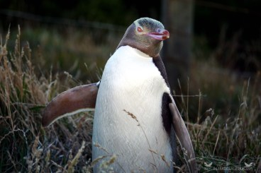 Hoiho or Yellow-eyed Penguin (Megadyptes antipodes). Katiki Point, Moeraki Peninsula, New Zealand.