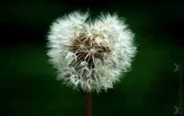 Taraxacum, Dandelion Blowball or Seed head Heart.