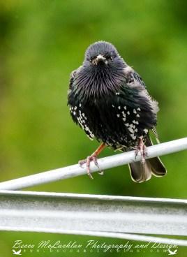Starling - Sturnus vulgaris Linnaeus