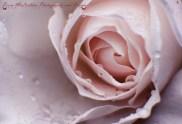 Day 14 - 14/01/17 - Tender Rose