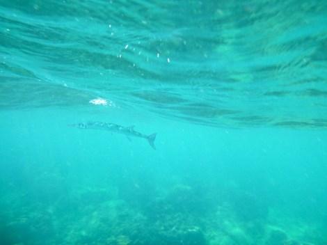 Jag hade inte med mig kameran i vattnet idag, tyvärr. Men dessa irriterande förföljare simmar nästan som hajar. De cirklar runt en i vattnet och verkar vänta på att en ska ordna fram mat.