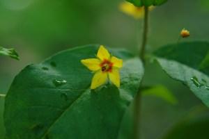Whorled Loosestrife (Lysimachia quadrifolia) 6/20/06