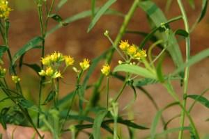 Lance-leaved Goldenrod (Solidago graminifolia) 7/27/06