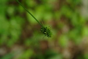 Sedge (Carex sp.) 6/11/06