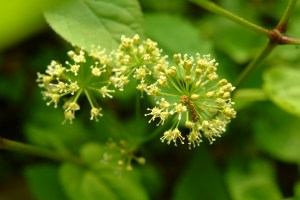 Wild Sarsparilla flowers (Aralia nudicaulis) 5/24/07