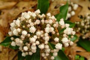 Mountain laurel buds (Kalmia latifolia) 5/31/07