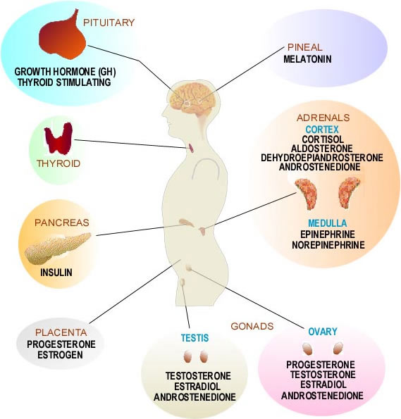 A diagram showing the source of some human hormones.