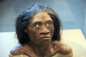 A reconstruction of a Homo floresiensis female at the National Museum of Natural History.