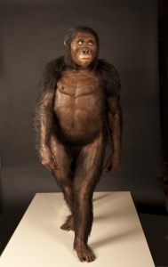 """A reconstruction of """"Lucy"""", the first Australopithecus afarensis skeleton discovered, from the Cleveland Museum of Natural History."""
