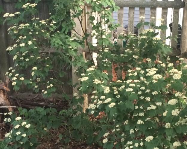 maple leaf viburnum 2