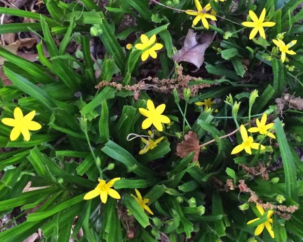 yellow star grass