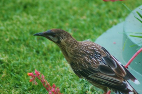 He was feeding off the pink cactus flower. I used to cut those flowers off, but its the 2nd bird I have caught on camera this week feeding from the flower.