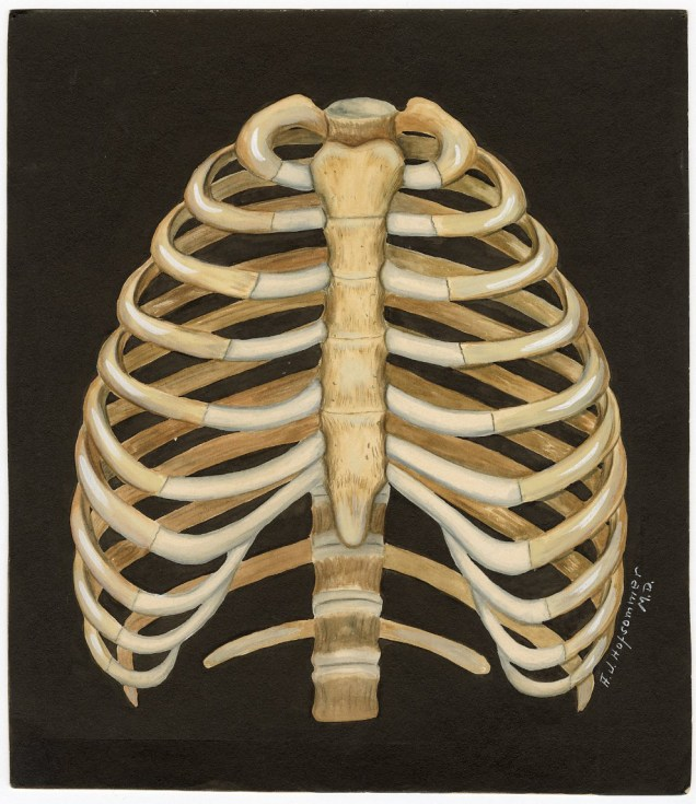Human ribcage, undated by AJ Hofsommer VC050038, BBML