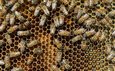Becker Bee Buzz 10.15: Complexities of Bee Husbandry