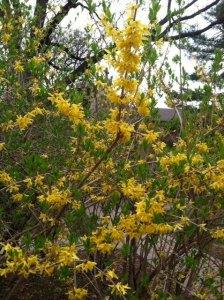 Forsythia - Spring Poems
