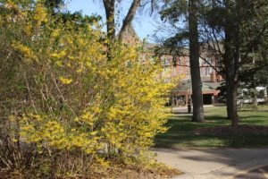 Forsythia and Becketwood