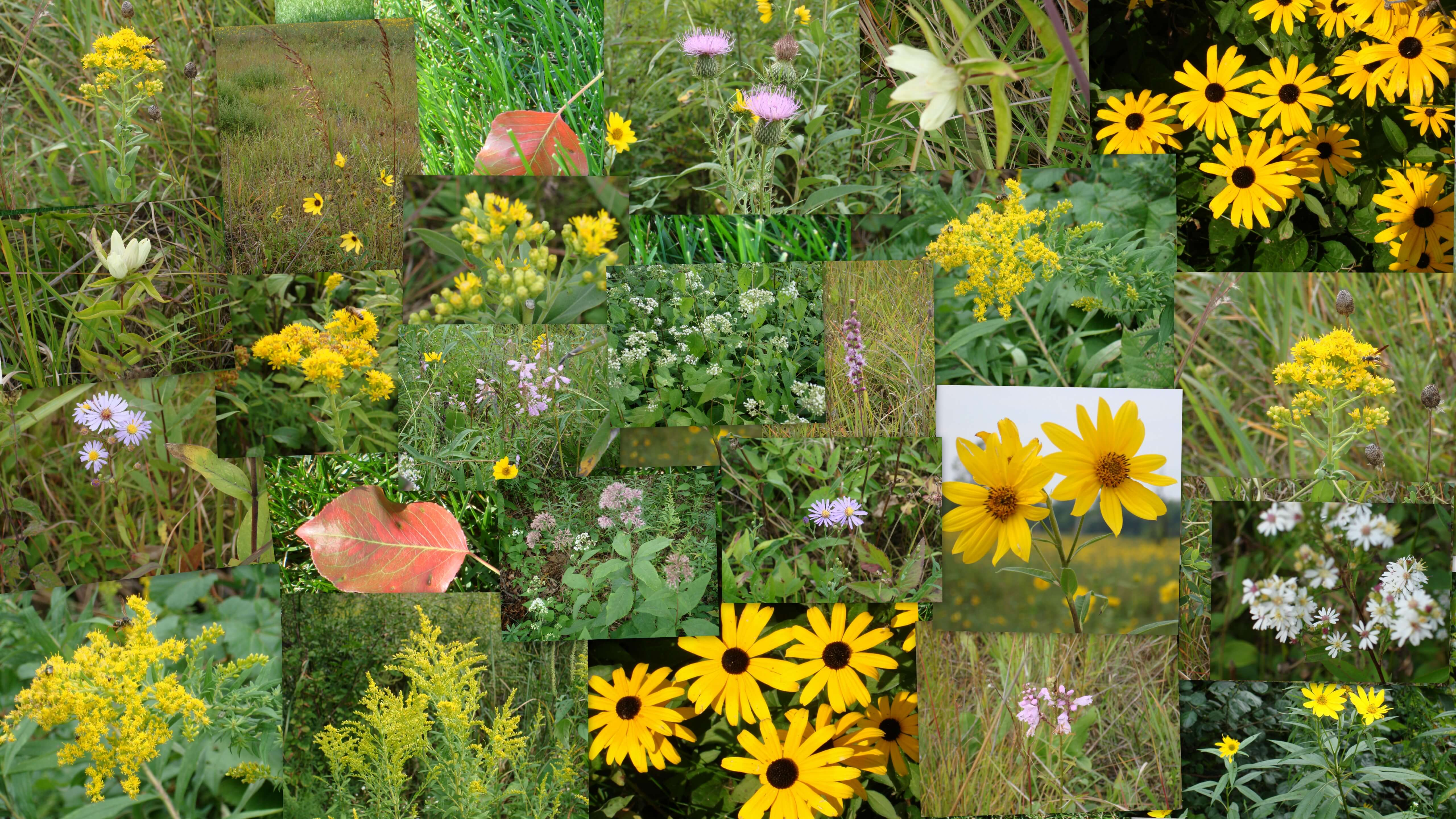 This is a collage of prairie fall wildflowers. Most of them can be found around Becketwood or in open prairies.