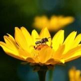 Native Bees
