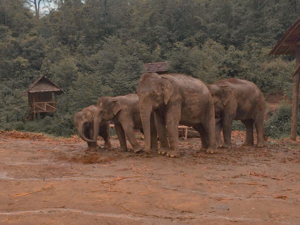 Elephants at the Elephant Jungle Sanctuary in Chiang Mai