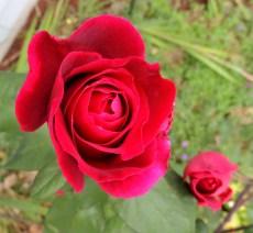 Mr Lincoln Rose 829201402