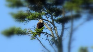 There is always a bald eagle about...