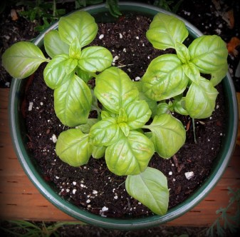 Three Basil plants....