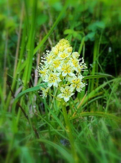 Meadow Death Camas...