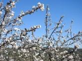 Almond Blossom and Algarvian skies make me very happy