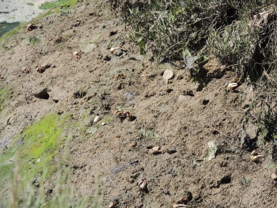 Look carefully and you will see about 20 crabs and lots of burrows