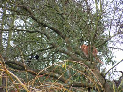 Despite there being two Septimus was not full of joy when he saw these Magpies!
