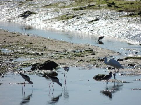 Stilt with Little Egret