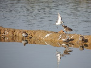 Little Stint is the one flying!