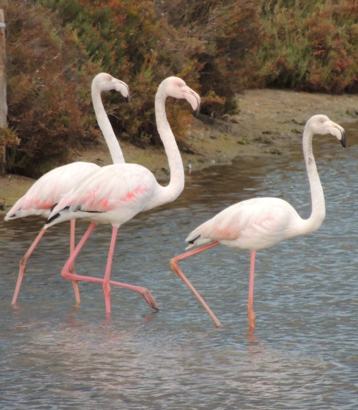 Close up of Flamingoes