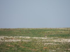 Can you spot the Little Bustard?