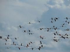 Flamingo lines