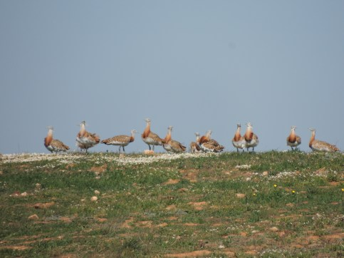 Great Bustards on the ridge