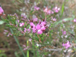 Erica australis (Spanish Heath)