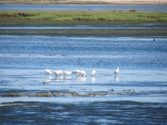 A sedge of Spoonbills