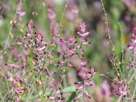 Common Fumitory