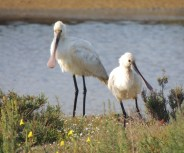 Spoonbills watching me