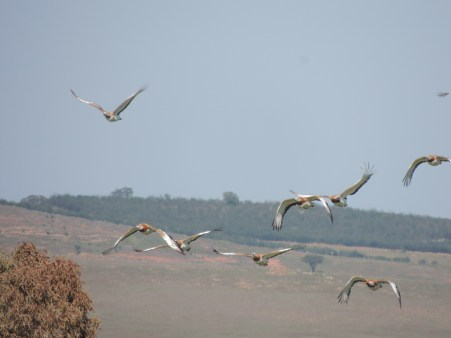 great-bustards-in-flight
