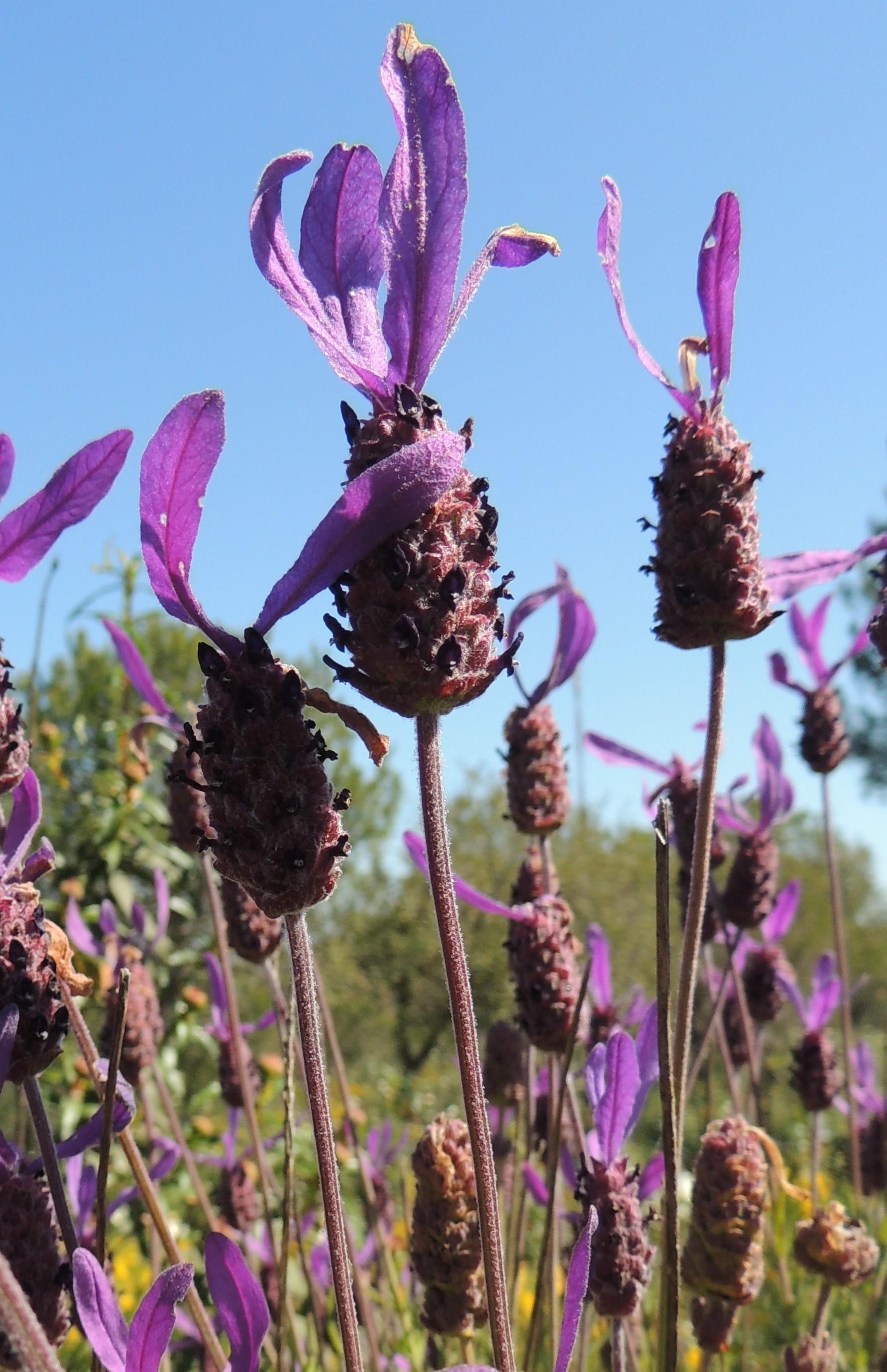 National Flower Of Portugal : national, flower, portugal, National-flower-of-portugal, Becky, Portugal