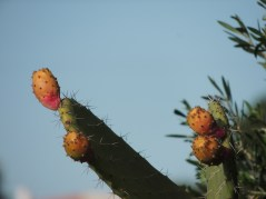 Prickly Pears (obviously!)