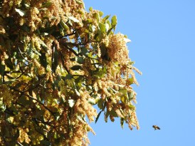 Cork Oak (and bee!)